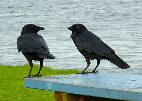 Ravens, Black Birds, Conversation, Talking