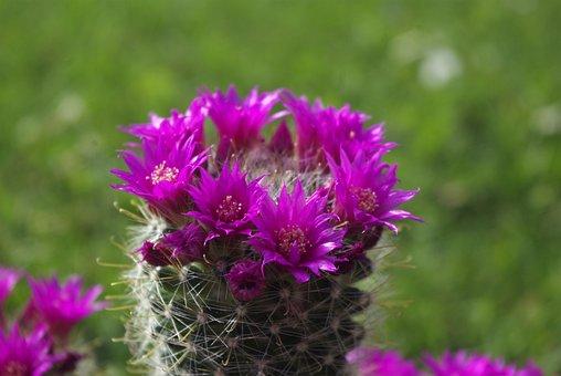 Cactus, Blossom, Bloom, Spur, Plant, Pink, Purple