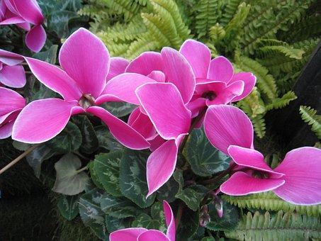 Flowers, Cerise, Cyclamen, Green, Plant