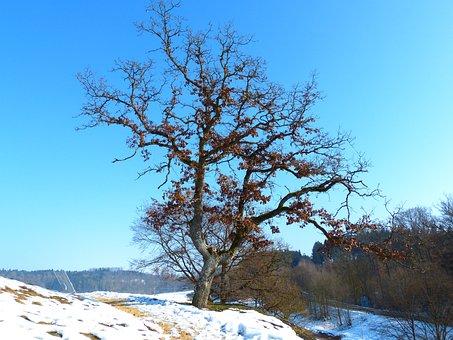 Tree, Oak, Winter, Cold, Ice Blue, Sky, Sky Blue