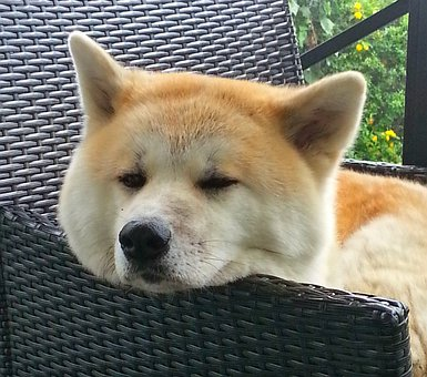Akita, Dog, Japan, Dog Breed, Pointed, Race, Prick Ears