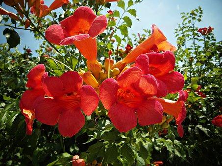 Bignonias, Flowers, Red, Flower, Nature, Garden, Warmth