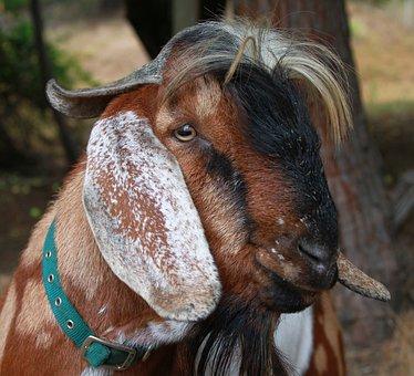 Goat, Billygoat, Fa, Farm, Livestock, Nature, Animal