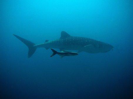Whale Shark, Kobia, Divers, Underwater, Ocean, Fish