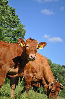Cows, Eat, Grass, Cattle, Limousin, Beef, Breed
