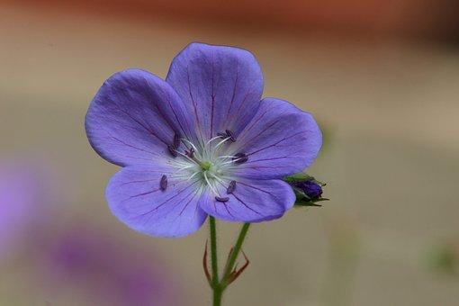 Flower, Purple, Petals, Five, Small, Summer, Nature