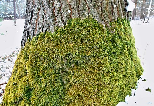 Moss, Oak Tree, Strain, Winter, Snow, White