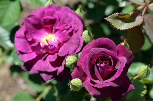 Rose, Pink Flower, Nature, Flower, Petals, Petal