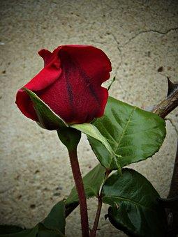 Rosa, Red, Beauty, Warmth, Petals, Velvet, Plants