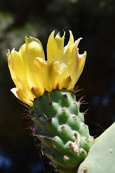 Prickly Pear, Blossom, Bloom, Cactus, Prickly, Spur