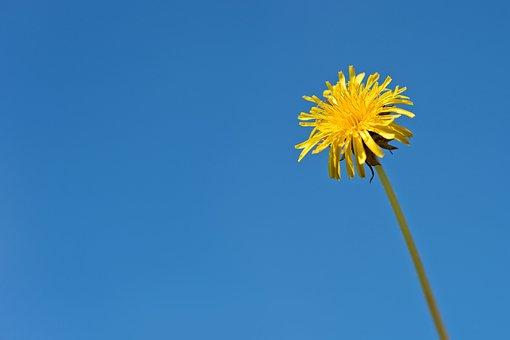 Dandelion, Flower, Yellow, Wild, Flora, Plant, Sky