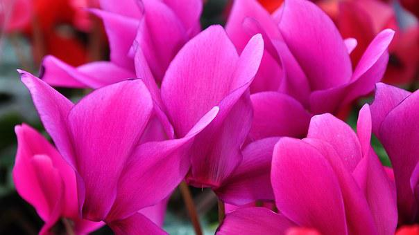 Cyclamen, Spring Flower, Pink Flower, Nature
