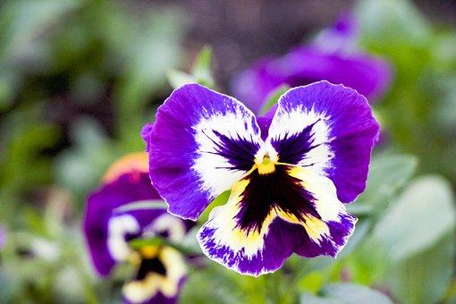 Purple Pansy, Flower, Bloom, Nature, Spring, Purple