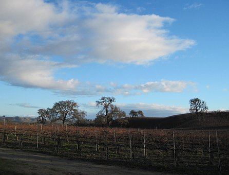 Wine Country, Vineyard, Oak Trees, Tree, Deciduous Tree