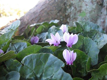 Cyclamen, Purple, Pink, Flower, Tree, Glastonbury Abbey