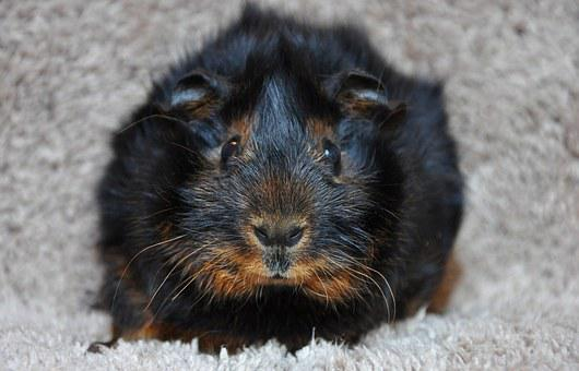 Guinea Pig, Rosette, Black Tan, Black Red Loh, Animal