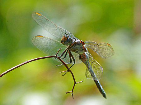 Blue Dragonfly, Branch, Wetland, Orthetrum Cancellatum