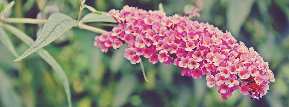 Butterfly Bush, Bush, Plant, Pink, Summer Lilac