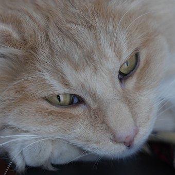 Norwegian Forest Cat, Magic Tiger Honeybee, Cat's Eyes