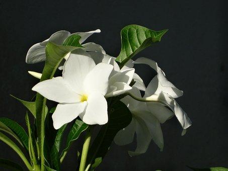 Cayenne, French Guiana, Flowers