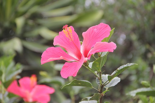 Cayenne, Real Step, Cubiro, Flower, Pistil, Nature
