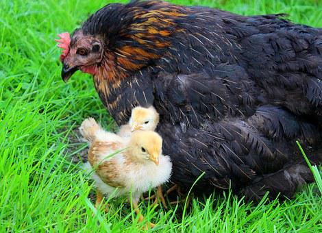 Chicks, Yellow, Mother Hen, Hen, Shelter, Hide, Protect