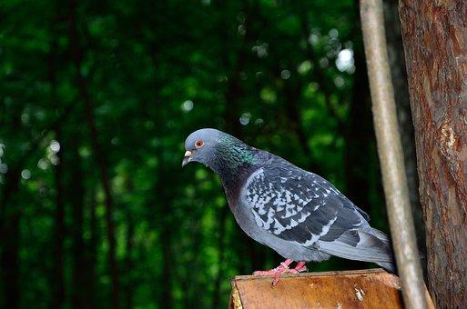 Dove Gray, Bird, Columba Livia Lat