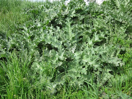 Onopordum Acanthium, Cotton Thistle, Scotch Thistle