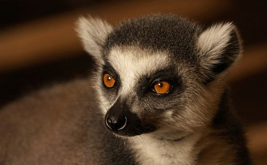 Ring Tailed Lemur, Monkey, Cute, Face, Catta