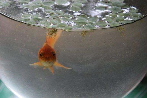 Fish In A Jar, Fish, Glass Jar, Aquarium