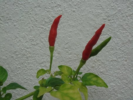 Chillis, Peppers, Fresh, Organic, Growing, Plant, Red