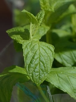 Green Mint, Culinary Herbs, Mint, Plant, Leaves, Stalk