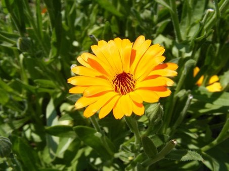 Antiseptic, Bactericide, Calendula, Flowers, Herb