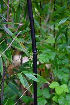 Black Cane Bamboo, Stalk, Knot, Leaves, Bamboo