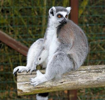 Ring Tailed Lemur, Lemur, Lemur Catta, Animal