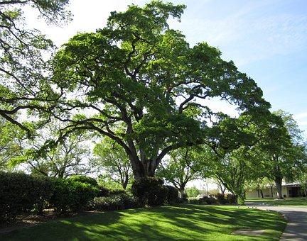 Tree, Nature, Oak Tree, Live Oak, Green, Landscape