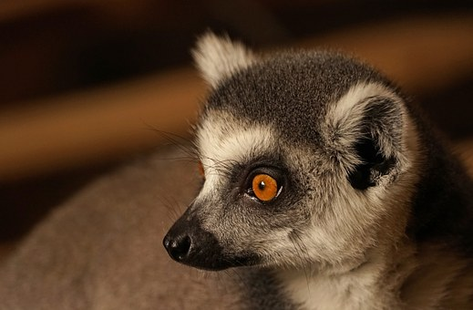 Ring Tailed Lemur, Catta, Lemur, Prosimians, Head