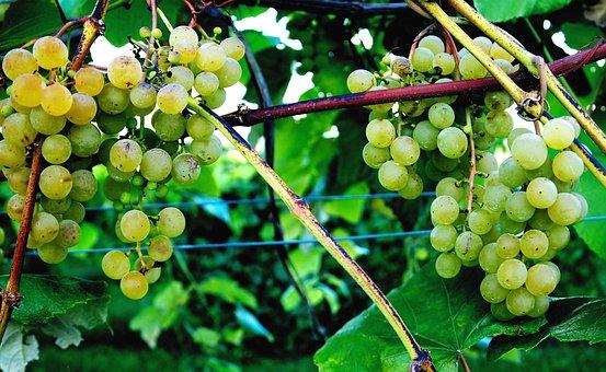 Tug Hill Vineyards, Grape Vine, Wine, Upstate New York