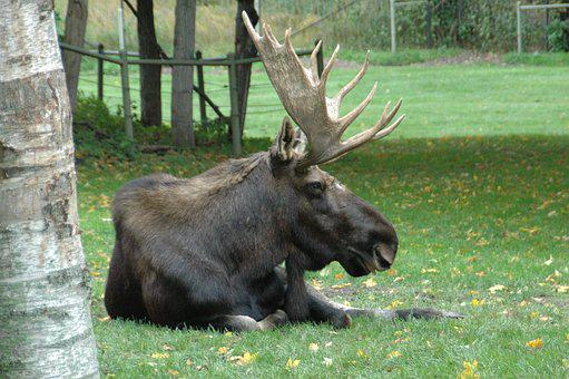 Moose, Wild, Animal, Free Commercial Use
