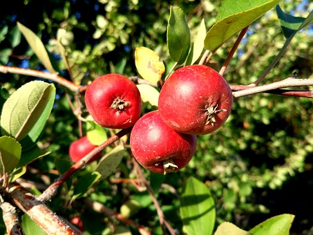 Hawthorn, Wild Fruits, Tree, Autumn, Campus