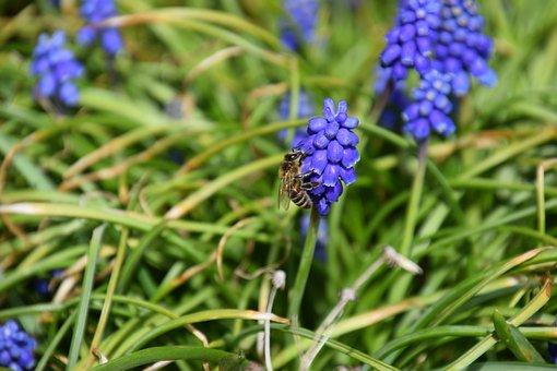 Bee, Macro, Muscari, Common Grape Hyacinth, Blossom
