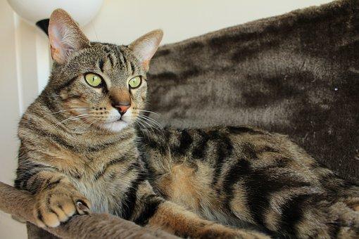 Cat, Tabby Cat, Animal, Cat Lying, Feline, Cat Tree
