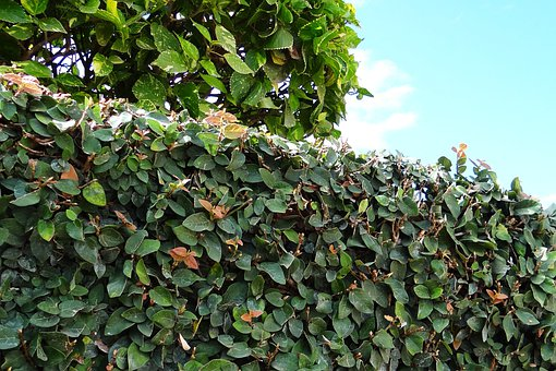Ficus Pumila, Creeping Fig, Climbing Fig, Fig, Plant