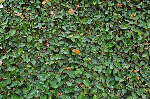 Ficus Pumila, Creeping Fig, Climbing Fig, Dharwad, Fig