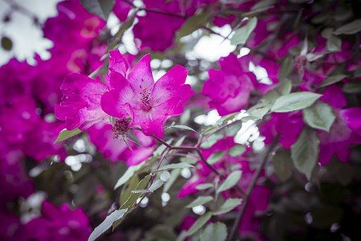 Flowers, Magenta, Purple, Nature, Beautiful, Beauty