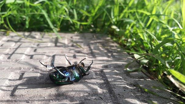 Beetle, Chafer, Green, Insect, Closeup, Insects, Grass