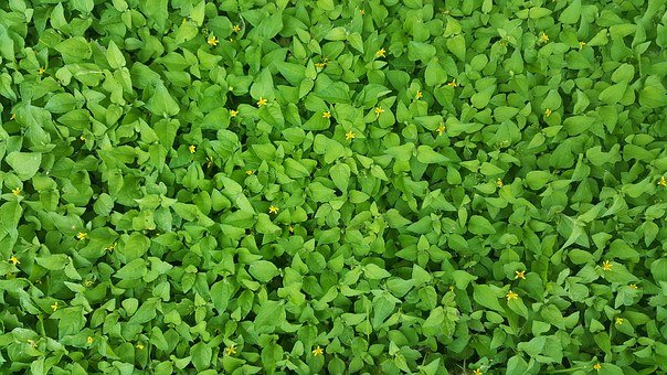 Ground Cover, Green, Straggler Daisy, Weeds, Horseherb