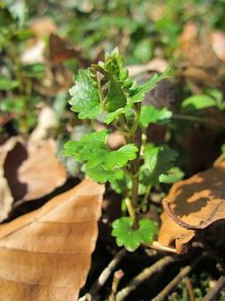 Glechoma Hederacea, Ground-ivy, Gill-over-the-ground