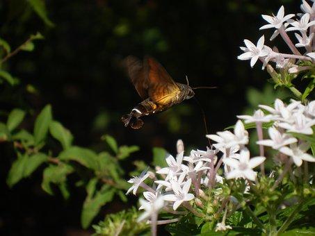 Hawk Moth, Moth, Insect, Straw, Hovering, Houjaku