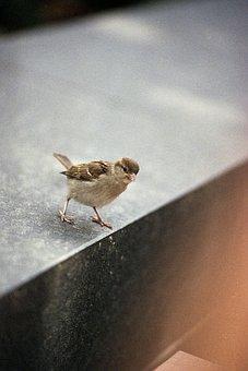 Sparrow, Little, Bird, Nature, Brown, Animal, Small